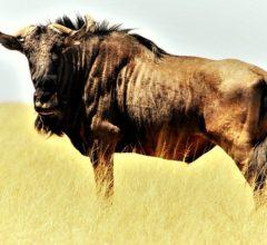 Blue Wildebeest Gnu Shaggy Beard  - Like_A_Hartman / Pixabay
